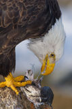 Alaskan Bald Eagle, Haliaeetus leucocephalus. Eating a fish on a log Stock Photo