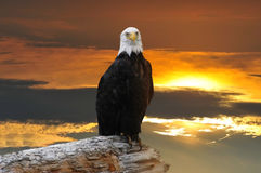 Alaskan Bald Eagle at sunset Stock Image