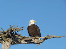 Alaskan bald eagle on wooden perch Stock Photos