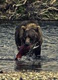 Alaskan bear fishing. A brown bear fishing in the Katmai peninsula, Alaska Royalty Free Stock Images