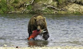 Alaskan bear fishing. A brown bear fishing salmons in the Katmai peninsula, Alaska Stock Image