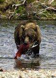 Alaskan bear fishing. A brown bear fishing salmons in the Katmai peninsula, Alaska Royalty Free Stock Image