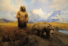 Alaskan Bears. On display in the American Museum of Natural History in New York City Stock Images