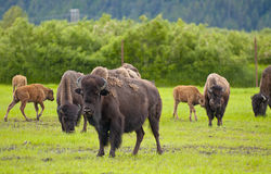 Alaskan bison Royalty Free Stock Images