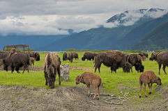 Alaskan bisons Stock Photography