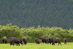 Alaskan bisons Royalty Free Stock Photos