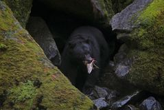 Alaskan Black Bear Gorging on Salmon. This bear had just caught a migrating salmon from a river in southeast Alaska and was returning to its den in the rocks Royalty Free Stock Photo