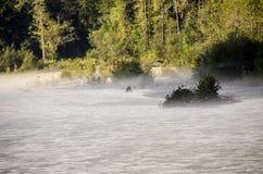 Alaskan Black Bear Hunting for salmon in river bed Stock Image