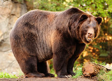 Alaskan brown bear. An enornous Alaskan brown bear (grizzly) staring at the camera with killer looks Stock Photo