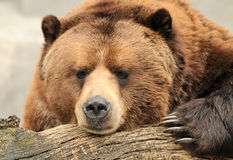 Alaskan brown bear. (grizzly) relaxes on a wooden log Stock Photography