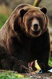 Alaskan brown bear Stock Photo