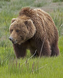 Alaskan brown bear Royalty Free Stock Photo