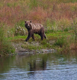 Alaskan Brown Bear Royalty Free Stock Image