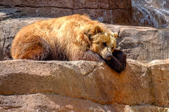 An Alaskan Brown Bear​ Royalty Free Stock Images