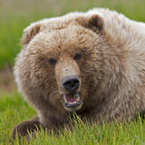 Alaskan brown bear boar Royalty Free Stock Photo