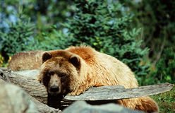 Alaskan Brown Bear Cameo Royalty Free Stock Photography