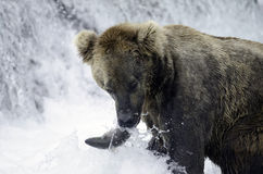 Alaskan brown bear catching a salmon Royalty Free Stock Photography