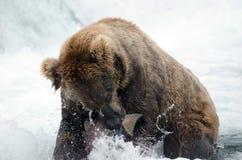 Alaskan brown bear catching salmon Royalty Free Stock Images