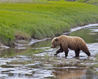 Alaskan brown bear crossing creek. A grizzly bear is crossing the stream while searching for food.  In the Spring they are hungry and intent on eating Royalty Free Stock Photo