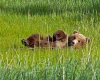 Alaskan brown bear cub Stock Photos