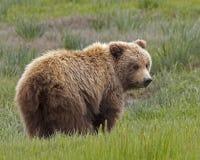Alaskan brown bear cub Royalty Free Stock Images