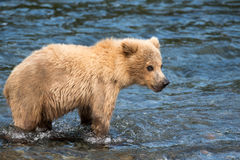 Alaskan brown bear cub Royalty Free Stock Photography