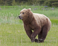 Alaskan brown bear cub running Royalty Free Stock Photo