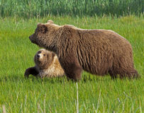 Alaskan brown bear cub and sow Royalty Free Stock Photo
