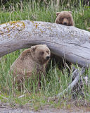 Alaskan brown bear cubs playing Royalty Free Stock Photos
