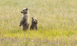 Alaskan Brown Bear Cubs stand in a field. At Lake Clark National Park Stock Photo