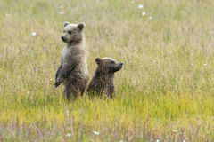 Alaskan Brown Bear Cubs stand in a field. At Lake Clark National Park Royalty Free Stock Photography