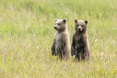 Alaskan Brown Bear Cubs stand in a field. At Lake Clark National Park Stock Photos