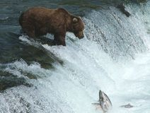 Alaskan Brown Bear Fishing at Falls Royalty Free Stock Images