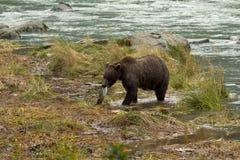 Alaskan Brown Bear hauls fresh salmon catch to shore. Chilkoot River Royalty Free Stock Photos