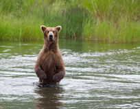 Alaskan Brown bear on hind legs Royalty Free Stock Photo