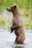 Alaskan Brown bear on hind legs Stock Images