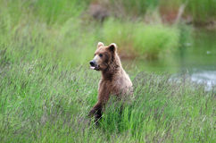 Alaskan Brown bear on hind legs Stock Images