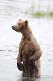Alaskan Brown bear on hind legs Stock Photography