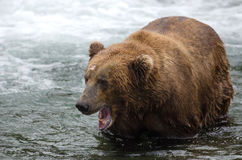 Alaskan brown bear with its mouth open Stock Images