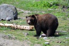Alaskan Brown Bear in meadow Royalty Free Stock Image