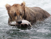 Alaskan brown bear with salmon Stock Images