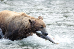 Alaskan brown bear with salmon in its mouth Royalty Free Stock Images