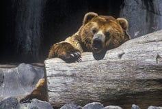 Alaskan Brown Bear at San Diego Zoo, CA., ursus arotos gyas Stock Photo