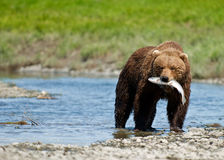 Alaskan Brown Bear with Sockey Salmon Royalty Free Stock Images