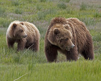 Alaskan brown bear sow and cub Royalty Free Stock Photo