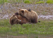 Alaskan brown bear sow and cub nursing Stock Image