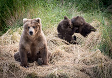 Alaskan brown bear sow with cubs stock images