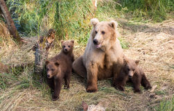 Alaskan brown bear sow and cubs Royalty Free Stock Photo