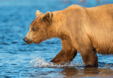 Alaskan brown bear sow Stock Image