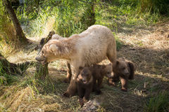 Alaskan brown bear sow with three cubs Royalty Free Stock Photo